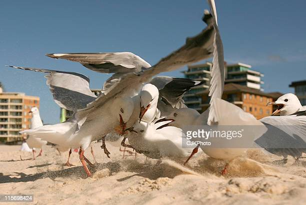Sea Gulls fighting for chip