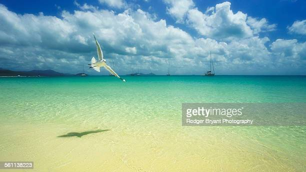 sea gulls sors over whitehaven beach whitsundays - queensland stock-fotos und bilder