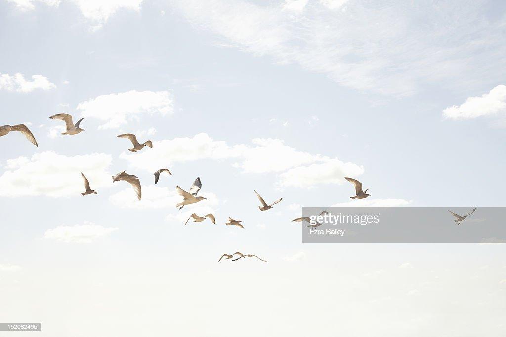 Sea guls in flight : Stock Photo