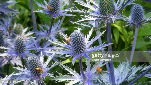 Sea holly and bees