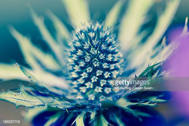 sea holly blues - s0ulsurfing stock pictures, royalty-free photos & images