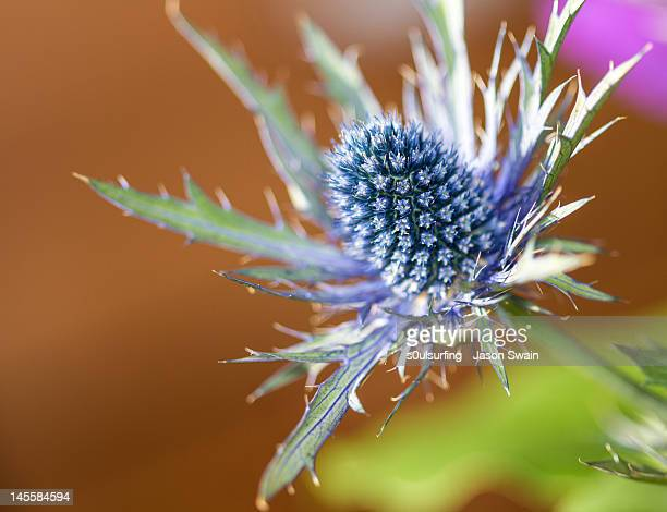 sea holly macro - s0ulsurfing stock pictures, royalty-free photos & images