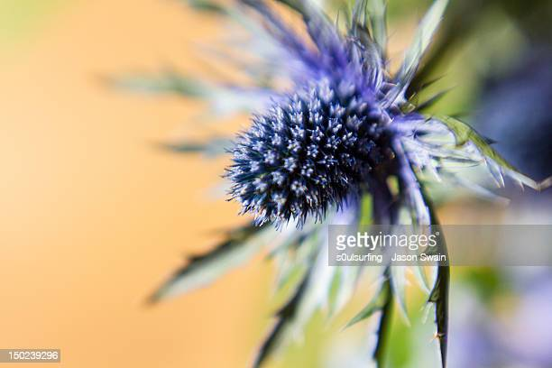 sea holly - s0ulsurfing stock pictures, royalty-free photos & images