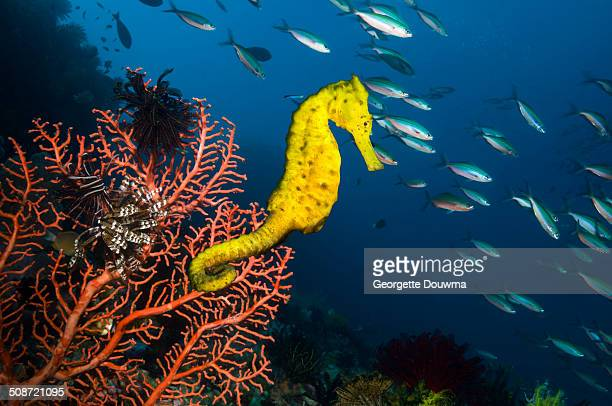sea horse on gorgonian - sea horse stock photos and pictures