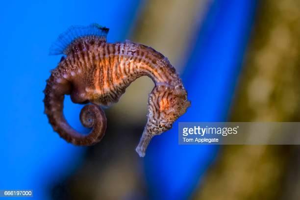 sea horse - hippocampe photos et images de collection