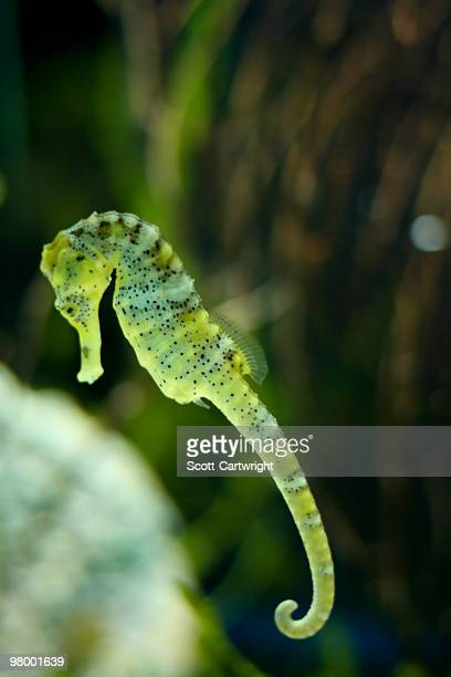 sea horse - sea horse stock photos and pictures