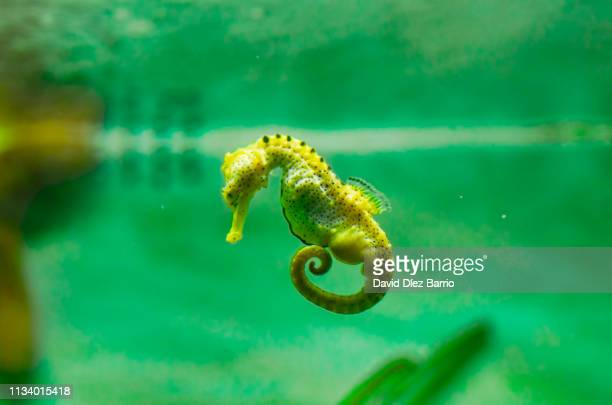 Sea Horse swimming in the water on green background
