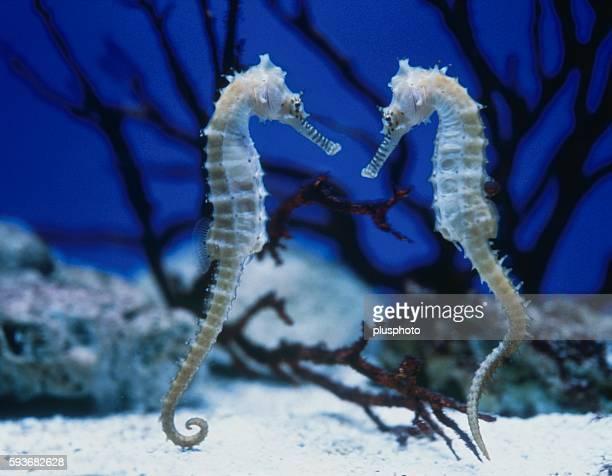 Sea horses face to face