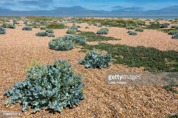 Sea Kale at Shingle Street on the Suffolk coast at the mouth of Orford Ness.