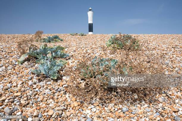 Sea kale vegetated shingle on the pebbly beach and lighthouse at Dungeness in Kent United Kingdom