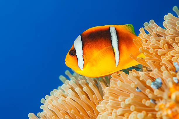 Sea Life - Anemone  Clownfish Wall Art