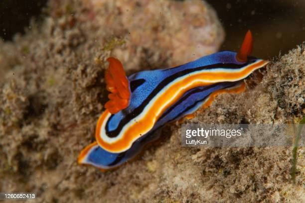 sea life. colorful sea slug underwater life nudibranch - zoology stock pictures, royalty-free photos & images