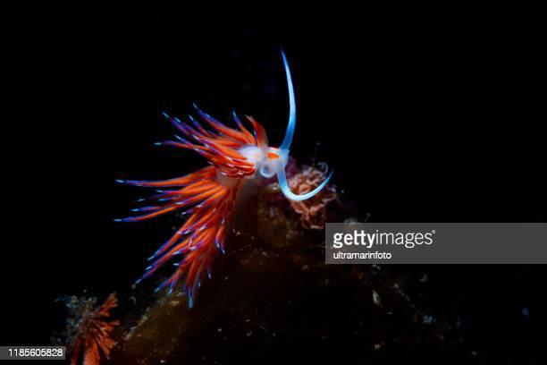 vie marine nudibranch beauté sous-marine plongée plongeur point de vue - limace photos et images de collection