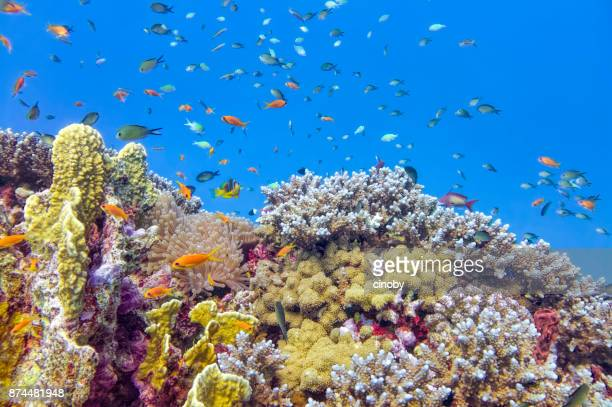 sea life on beautiful coral reef with lot of tropical fish in red sea - marsa alam - egypt - reef stock pictures, royalty-free photos & images