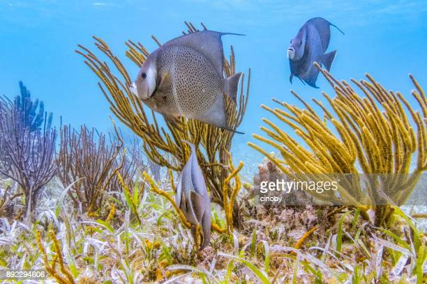 Sea life on Hol Chan Marine Reserve with French angelfish in Caribbean Sea - Belize Barrier Reef / Ambergris Caye