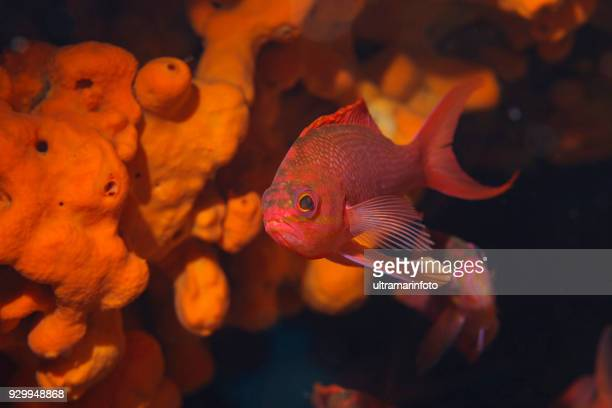 sea life red fish and underwater orange sponge  scuba diver point of view mediterranean sea - peixe vermelho imagens e fotografias de stock