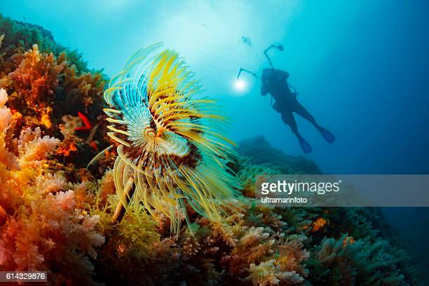 Sea life  Spral tubeworm Scuba diver  Underwater photographer