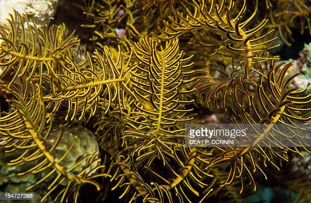 Sea Lily, detail of the arms lined with pinnules, Crinoidea.
