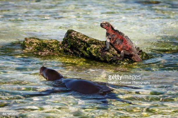 Sea lion and marine iguana