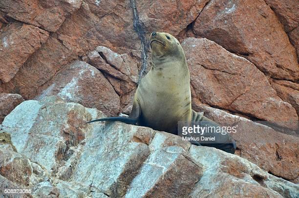"""sea lion at ballestas islands, peru - """"markus daniel"""" photos et images de collection"""