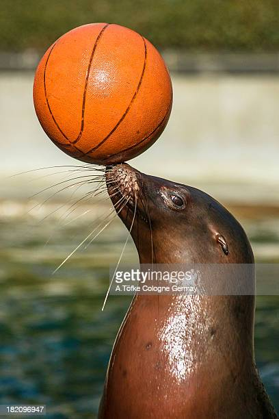 Sea Lion balancing basketball.