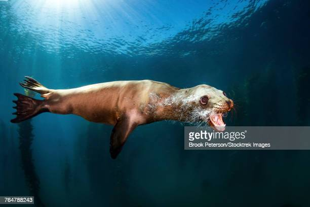 a sea lion blows bubbles as it passes by, santa barbara island, southern california. - rookery stock pictures, royalty-free photos & images