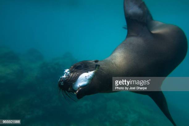 Sea Lion Catches a Fish
