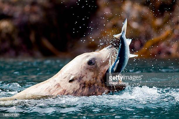 Sea Lion catches fish