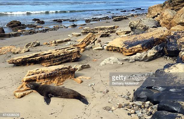 A sea lion covered in oil struggles on the beach just west of El Refugio state beach about 100 feet from where the oil spill flowed into the ocean...