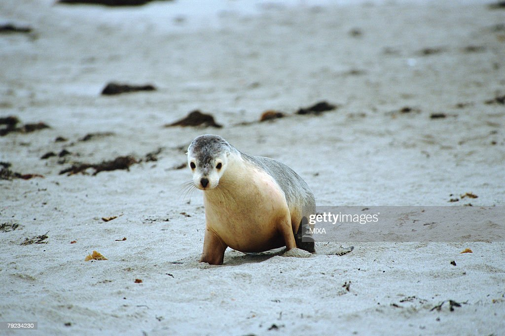 A sea lion crawls at seashore, Australia : Stock Photo