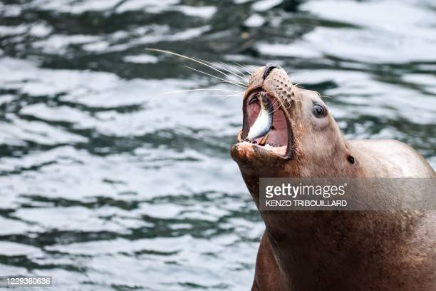 Sea lion eats a fish in its enclosure at Pairi Daiza animal park in Brugelette on October 30 as the zoo distributed special meals to the animals for...