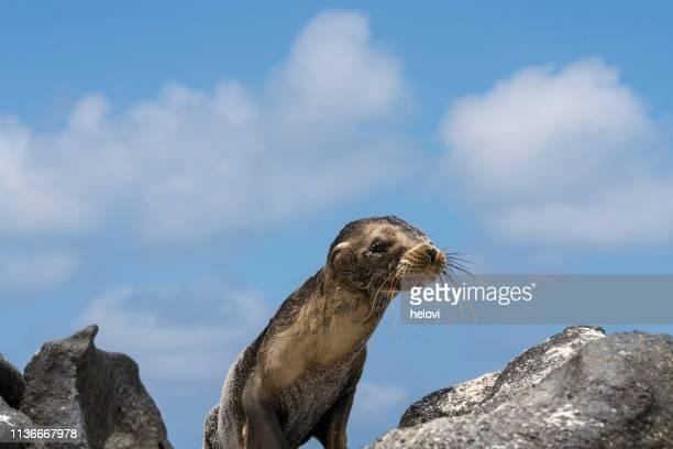 seelöwe in galapagos - aquatisches lebewesen stock-fotos und bilder
