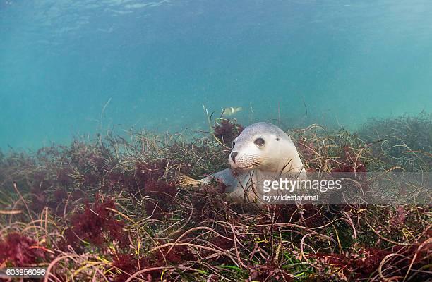 sea lion in the grass - ilha netuno - fotografias e filmes do acervo
