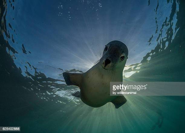 sea lion in the sun - baby seal stock photos and pictures