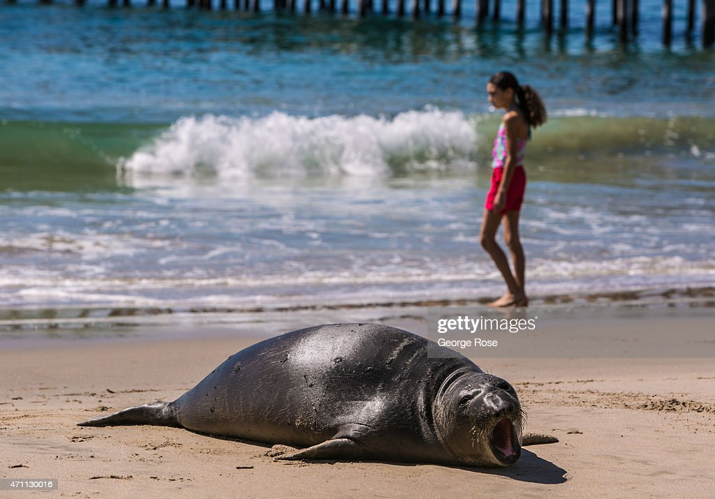 A sea lion makes its way onto the sand at Gaviota State Beach, entertaining dozens of sunbathers on April 18, 2015, near Santa Barbara, California. Because of its close proximity to Southern California and Los Angeles population centers, the coastal region of Santa Barbara has become a popular weekend getaway destination for millions of tourists.