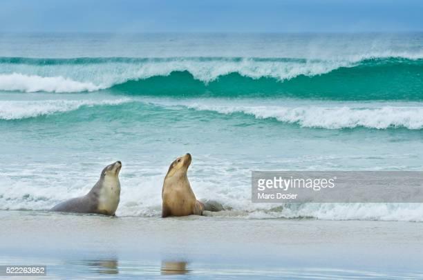 sea lion (neophoca cinerea) on kangaroo island - südaustralien stock-fotos und bilder
