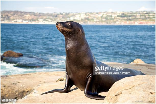 sea lion on rock at sea shore - seal stock pictures, royalty-free photos & images