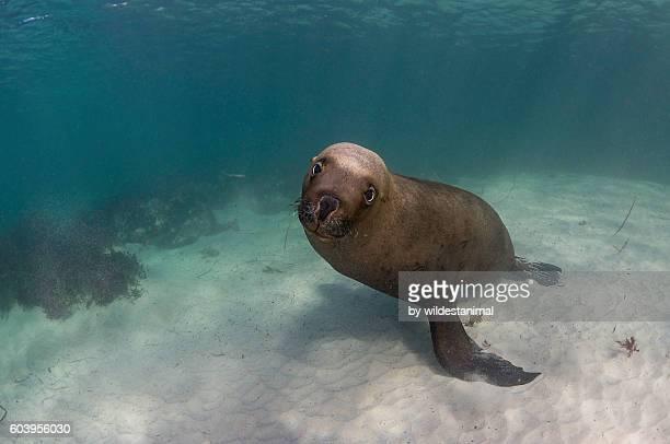 sea lion on sand - ilha netuno - fotografias e filmes do acervo