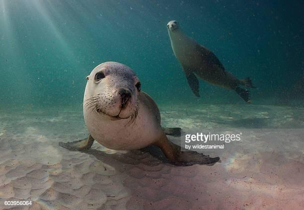 sea lion on sand - foca imagens e fotografias de stock