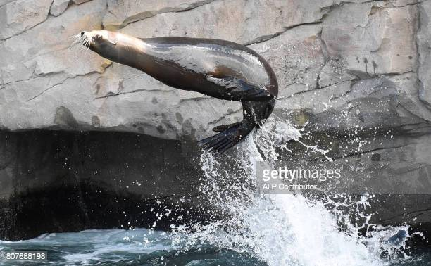 Sea lion 'Pamela' jumps out of her pool on July 4 2017 at the zoo in Hanover northern Germany / AFP PHOTO / dpa / Holger Hollemann / Germany OUT