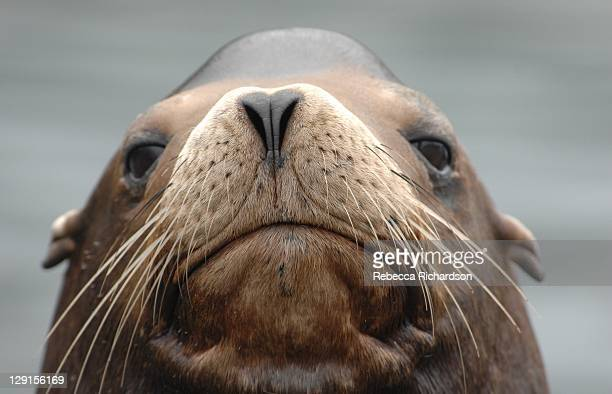 sea lion - seal stock pictures, royalty-free photos & images