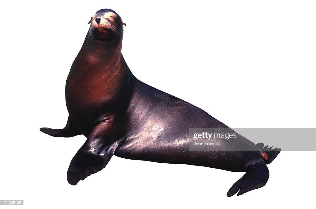 sea lion : Stock Photo