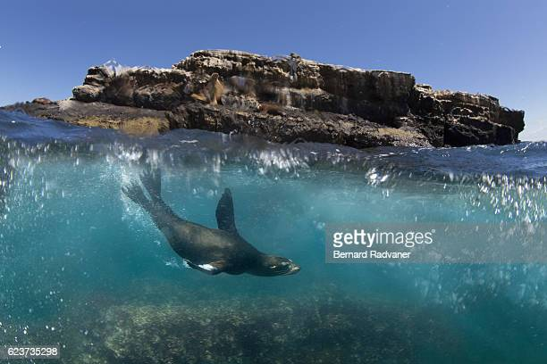 sea lion playing in the waves next to a rocky island