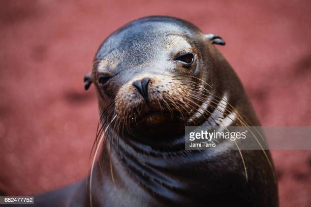 a sea lion pup - baby seal stock photos and pictures