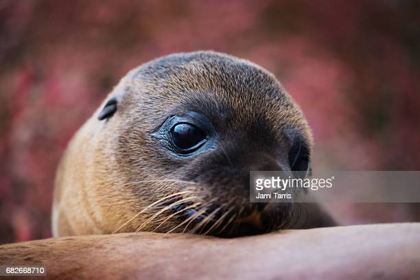 A sea lion pup