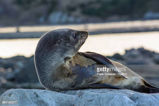 Sea Lion Relaxing On Rock