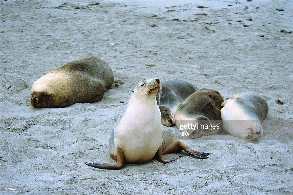 Sea lion resting at beach : Stock Photo