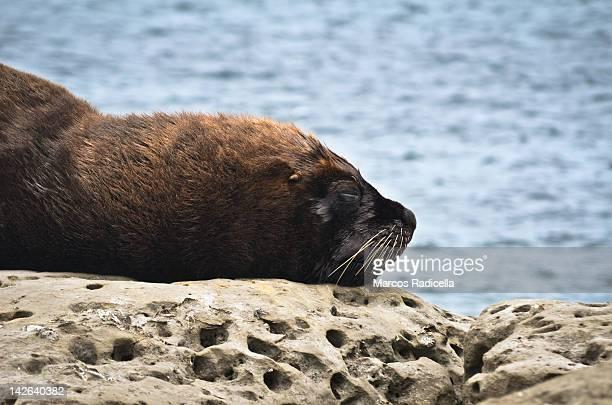 sea lion resting over rocks - radicella photos et images de collection