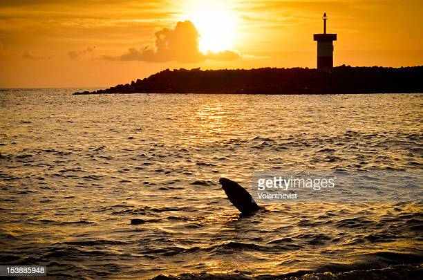 Sea lion showing flipper during sunset