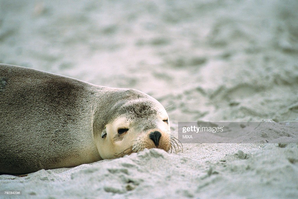 A sea lion sleeping on sand beach, Australia : Stock Photo